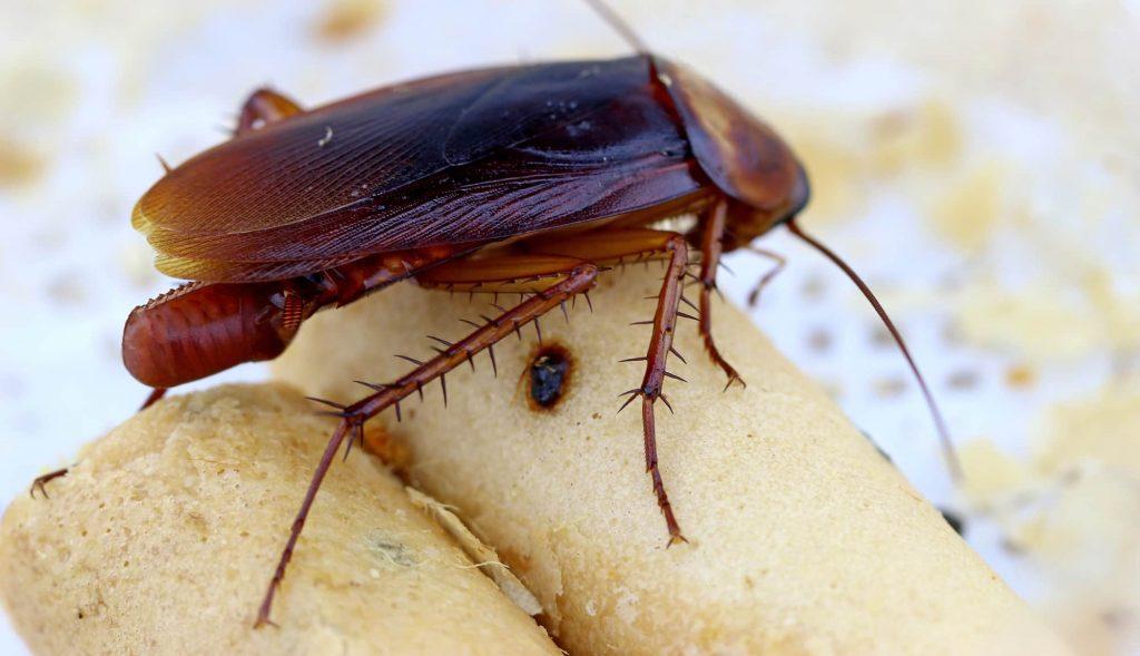 مكافحة الصراصير في تبوك